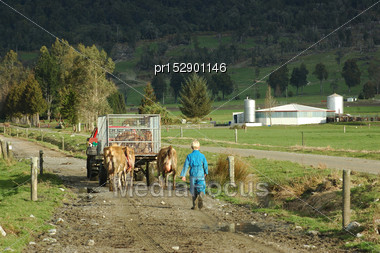 Farmhand In Vehicle And A Boy Walking Cows And Newborn Calves To The Dairy, West Coast, New Zealand Stock Photo
