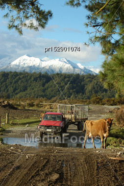 Farmhands Walk Cows And Newborn Calves To The Dairy, West Coast, New Zealand Stock Photo