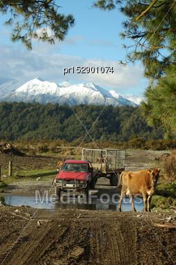 Farmhands Walk Cows And Newborn Calves To The Dairy, West Coast, New Zealand Stock Photo