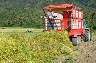 Feed Wagon Unloads Triticale Grown For Silage, West Coast, New Zealand Stock Photo