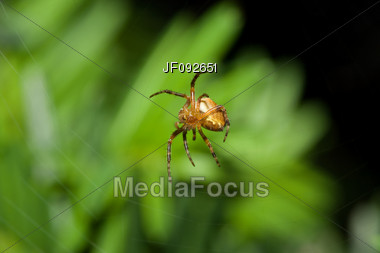 Female Cobweb Spider Waits Patiently In It's Web Stock Photo