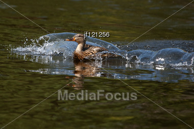 Female Mallard Coming In For A Landing. Stock Photo