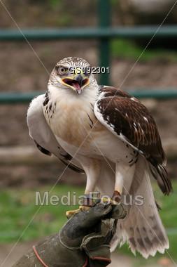 ferrugious hawk sitting on a glove Stock Photo