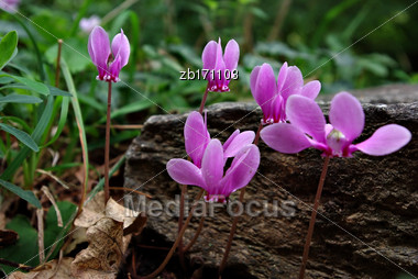 Few Pink Cyclamen In Woods In Front Of Green Grass At Sunny Summer Day Stock Photo