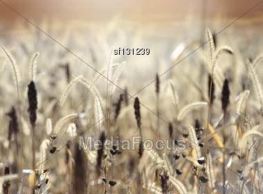 Field At Sunset,Close Up Stock Photo