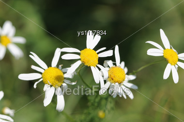Field Camomiles Are Shooting Close Up Stock Photo