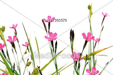 Field Flowerses Stock Photo