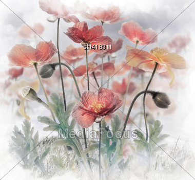 Field Of Red Poppy Flowers Stock Photo