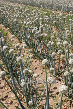 Field Of Onions In Perspective For Organic Farming Stock Photo