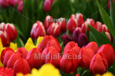 field of red tulips, other colors in the background Stock Photo