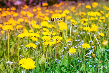Field Of Spring Flowers At Sunny Day Stock Photo
