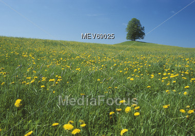Field With Dandelions Stock Photo