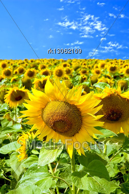 Field Of Yellow Sunflowers Against A Blue Sky Stock Photo