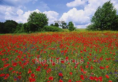 Fields Of Poppy Flowers Stock Photo