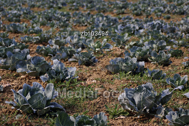 Filed Of Organic Homegrown Cultivation Of Cabbage, Blured Background, Sunny Day Stock Photo