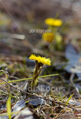 First Coltsfoot Flowers Stock Photo