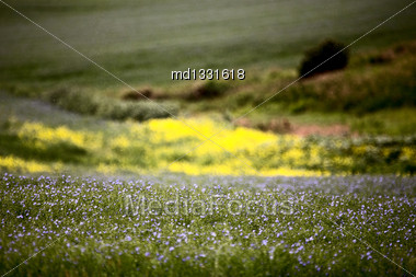 Flax And Canola Crop Blue And Yellow Bloom Saskatchewan Stock Photo