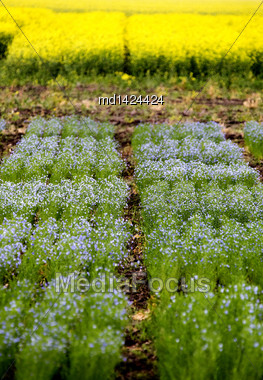 Flax Crop Saskatchewan Testing For Pesticide Company Canada Stock Photo