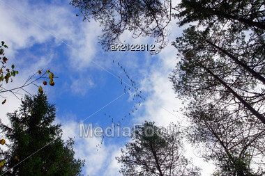 Flight Of Cranes Flies By Above Trees Stock Photo