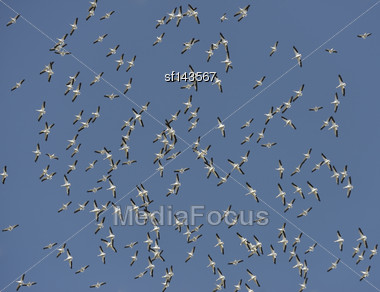 Flock Of American White Pelicans Flying In A Blue Sky Stock Photo