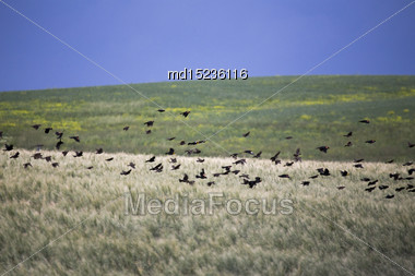 Flock Of Black Birds In Flight In Saskatchewan Canada Stock Photo