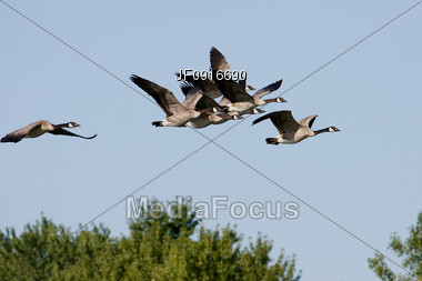 Flock of Canadian Geese Flying Stock Photo