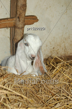 Floppy-eared Goat In Tamil Nadu, South India Stock Photo