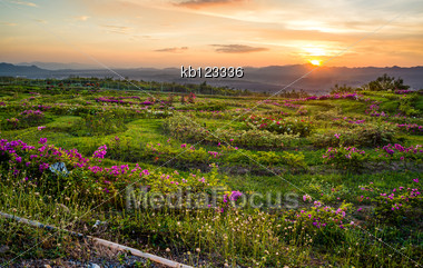 Flower Field And Sunset Behind The Mountains In Thailand Stock Photo
