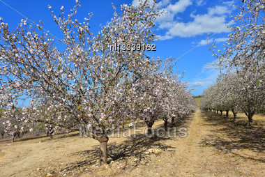 Flowering Trees And A Bright Blue Sky Stock Photo
