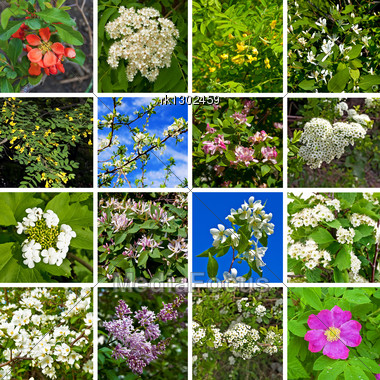 Flowers Of Acacia, Quince, Apple, Honeysuckle, Plum, Rowan, Viburnum, Lilac, Hawthorn, Wild Rose On A Background Of Green Leaves And Blue Sky Stock Photo