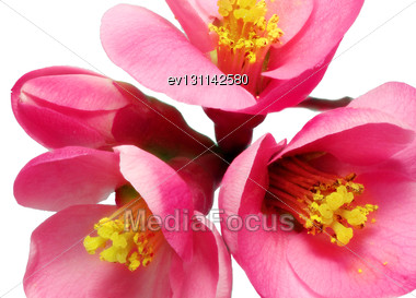 Flowers Of Chaenomeles Japonica (Japanese Quince) Blossoming. Isolated Stock Photo