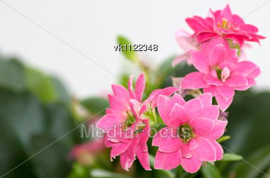 flowers of kalanchoe Stock Photo