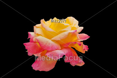 Flowers Rose With Petals Pink Large On Glade Garden Stock Photo