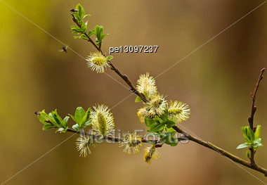 Flowers Willow Spring (Salix) In The Garden Stock Photo