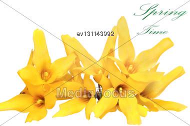 Forsythia Flowers On White Background. Isolated Stock Photo