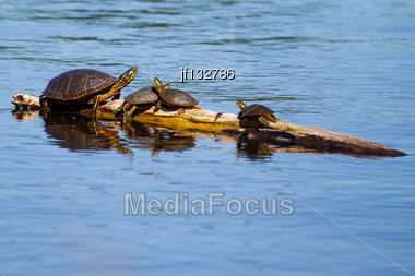 Four Painted Turtles Basking In The Sun Stock Photo