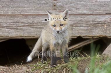 Fox Kits At Play Near Den In Saskatchewan Stock Photo