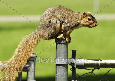 Fox Squirrel On A Fence Stock Photo