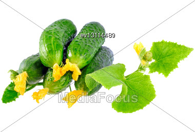 Fresh Cucumbers On With Green Leaf And Yellow Blossom Cluster. Isolated Over White Stock Photo