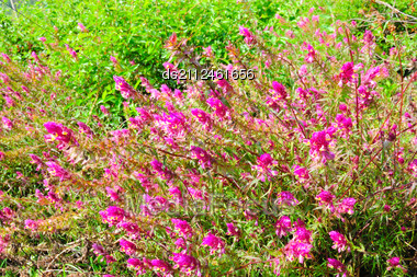 Fresh Green And Pink Mountain (alpine) Meadow Stock Photo