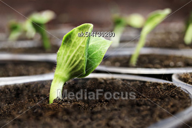 Fresh Green Pumpkin Sprouts In The Pots Stock Photo