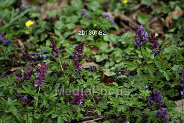 Fresh Purple Wild Flowers Against Blured Background And Green Grass. Stock Photo
