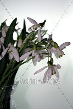 Fresh Snowdrops In Glass Vase Infront Of White Background Stock Photo
