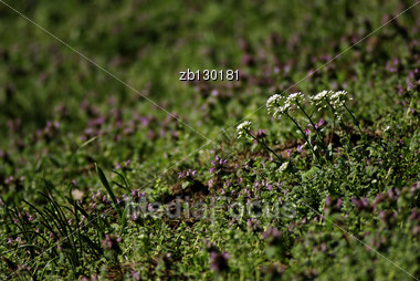 Fresh White Wild Flowers Against Blured Background And Green Grass. Stock Photo