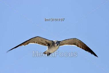 Front Of Sea Gull Flying In The Sky In Mexico Playa Del Carmen Stock Photo