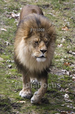 Front View Of A Male Lion Walking Stock Photo