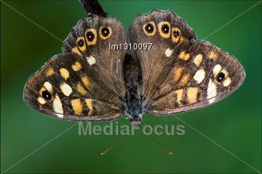 Front Of Wild Brown Grey Orange Butterfly On A Brown Branch In The Bush Stock Photo