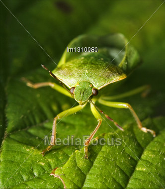 Front Of Wild Fly Hemiptera Nezara Virdula Heteroptera Pentatomidae Palomena Prasina Stock Photo