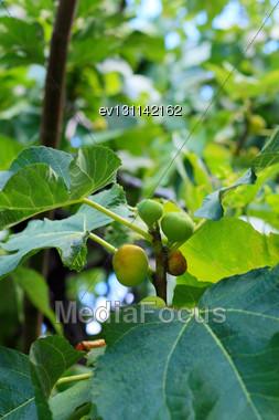 Fruit Of Fig-tree.Close-up Stock Photo