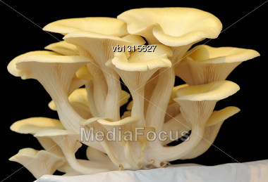 Fruiting Bodies Of Golden Oyster Mushroom, Edible Gilled Fungus Stock Photo